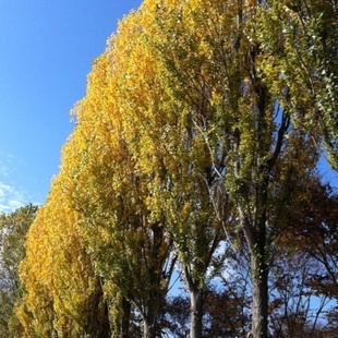 公園南側のポプラ並木♪