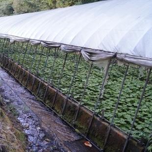 ココの湧水を利用して作谷沢名産の山葵が栽培...
