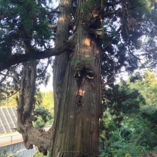 天然記念物に指定されている、樹齢約千年とい...