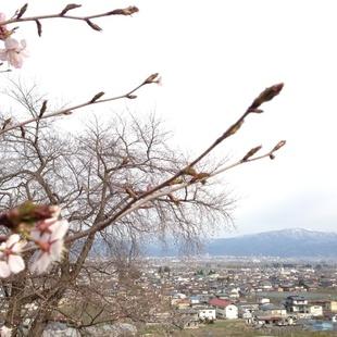 蔵王が一望できる桜スポット!まだ若木が多い...