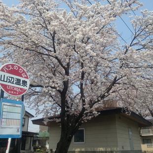 春ですね♪山辺温泉のところ桜も見事に満開で...